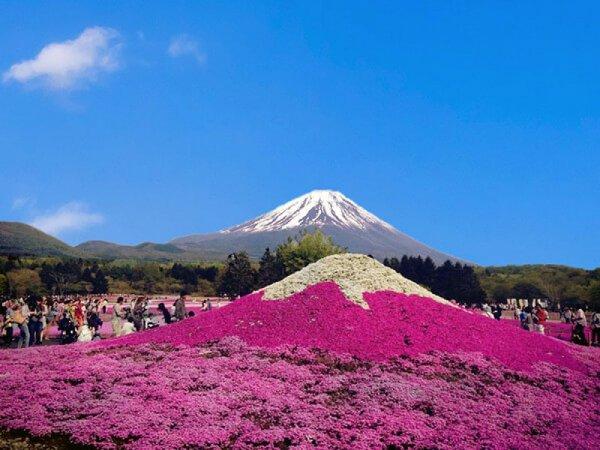 【横浜発】富士芝桜まつり&富士山五合目◎絨毯のように広がる鮮やかな芝桜と世界遺産・富士山の共演はインスタ映えの絶景!富士山五合目ではレストハウスやパワースポットもあり楽しみ方いっぱい。施設入園料込み