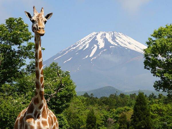 【東京発】富士サファリパーク&御殿場プレミアム・アウトレット◎富士山の麓の巨大アウトレットでショッピングを楽しんだら、人気動物園で間近に迫る動物達とSNS映えの一枚を。お買物に便利なスペシャルクーポン券プレゼント。