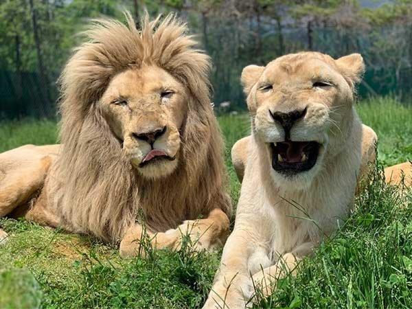【東京・上野発】那須サファリパーク&那須ガーデンアウトレット◎那須高原の人気テーマパークへ行こう!ホワイトライオンを始め可愛い動物たちが間近で楽しめる。リゾート型アウトレットでショッピングもばっちり。施設入園料込み