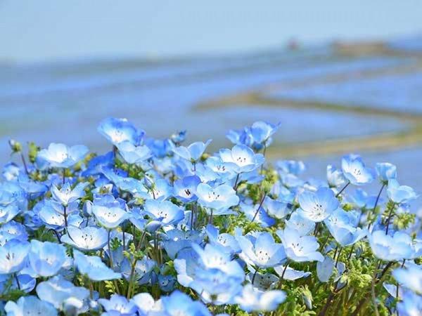 【横浜発】青の絨毯「ネモフィラ」観賞&あみプレミアム・アウトレット◎SNS映え間違いなし。世界が注目するひたち海浜公園ネモフィラでお花見。いちご狩り食べ放題&アウトレットで使えるクーポンシート付き。