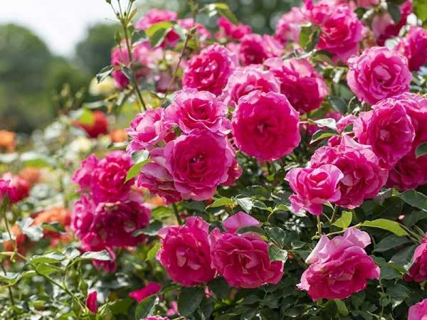 【新宿発】フォトジェニック旅~初夏の茨城花名所めぐり~◎バラの香りに包まれたいばらきフラワーパークはSNS映えばっちり。パワースポット雨引観音で話題のあじさい池観賞&御朱印巡り。佐野アウトレットでお買物もばっちり。お得なクーポン券付き