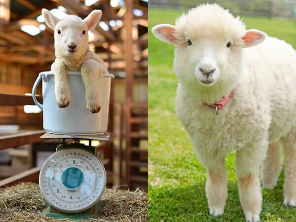 マザー牧場子羊