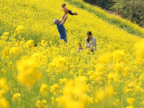 菜の花観賞のバスツアーイメージ
